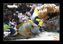 ALAIN2dussumieri6461 (kactusficus) Tags: marine reef aquarium alain captive ecosystem rcifal acanthuridae chirurgien surgeonfish tang acanthurus dussumieri