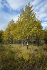 Trembling Aspen (Edmonton Ken) Tags: populus tremuloides trembling aspen poplar tree leaves trunk bole colour color fall yellow green bark grove copse autumn canada alberta
