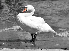 Proud swan (Lala89_Photos) Tags: swan schwan swans schwne vogel wasservogel bird birds vgel weis white animal tier closeup portrait proud pride stolz lake see water wasser