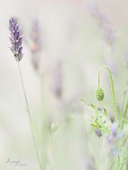 serenity (Wilma van Oorschot) Tags: wilmavanoorschot angelphotography olympusem5 olympusomde5 75mm olympusmzuiko75mmf18 mzuikodigital75mm118 lavender poppy serene serenity purple white focus outdoor nature garden