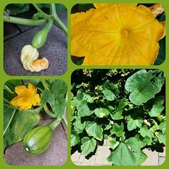 Une histoire<> A story. (France-) Tags: collage fleur citrouille pumpkin summer t vancouver bc lgume vegetable green vert jardin garden