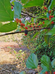 blackberry (Rodrigo Ribeiro) Tags: amora blackberry nature natureza fruit fruta