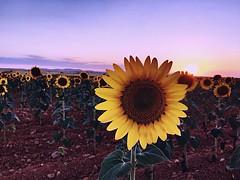 Gira-sols (Jess 56) Tags: bulaklak flower  fleur flor fiore    iek flors flores flowers fleurs fiori blumen girasols girasoles sunflowers tournesols sonnenblumen