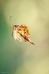 Fallendes Blatt (UsualRedAnt) Tags: 70d bokeh tamron70300mm baum pflanze fliegen grn bunt blatt gelb birke stil f56 natur canon style