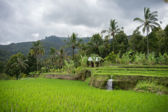 Munduk Rice Field (Kartjb) Tags: indonesia indonesie bali munduk nature paysage landscape mountain montagne sony a7 ricefields
