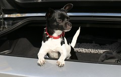 Hey how did I get in the trunk (parrotlady66..) Tags: corvettedays dogs car corvette winston canon70d cute familypet