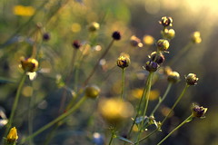 stay close (joy.jordan) Tags: meadow light bokeh color flowers yellow blur