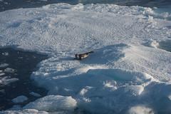 Harp seal 7 (Elvar H) Tags: arcticocean harpseal helmerhansen phocagroenlandica siarctic grnlandssel sealsampling vuselur