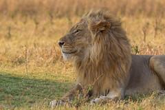 Handsome (Hector16) Tags: africa zimbabwe safari ruckomechiconcession ruckomechi zambezi unescoworldheritagesite ruchomechicamp 2015 unesco manapools zambezivalley worldheritagesite zw panthera panteraleo lion male wildanimal predator resting mane ngc