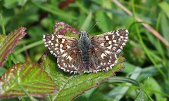 Grizzled Skipper 240516 (1) (Richard Collier - Wildlife and Travel Photography) Tags: insects wildlife naturalhistory british butterflies grizzledskipper skipper macro