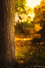 hide & seek (reiernilsen) Tags: boy pretty portrait glow yellow red autumn hiding tree eye looking playing toddler leaves shadows flare canon ef135mmf2lusm 5dmkiii reiernilsen norway frognerparken oslo september