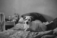 rumpled. (Brandy Jaggers) Tags: 35mmf14 bw dex dog fuji fujixe1 fujixf35mmf14 fujifilm indoor naturallight windowlight xe1 xf35mmf14r