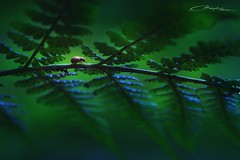 Journey (MaaykeKlaver) Tags: bug journey fern plant insect walk macro nature green forest animal light beetle scarab
