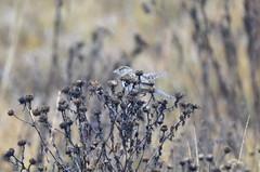 Savannah Sparrow (glenbodie) Tags: glen bodie glenbodie dncb dike 201350 savannah sparrow