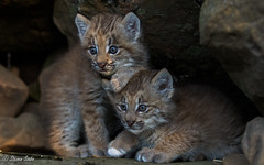 Brothers in Paws (NaturesFan) Tags: lynx