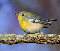 Northern Parula (snooker2009) Tags: northern parula bird migration fall spring nature wildlife pennsylvania