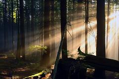 little sunbeam tree (Christopher J. Morley) Tags: trees light mist tree beautiful vancouver forest high log nikon bc little walk north columbia hike illuminated iso british jpeg sunbeam wander d600 testingout