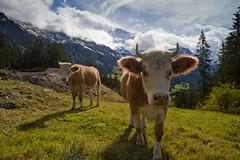 Wengen cows (Luminor) Tags: travel sky mountains nature grass animals clouds bells switzerland nikon europe cows hiking availablelight f14 horns moo views nik 24mm peaks 5000 filters wengen berner 5k oberland d700