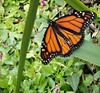 A Magnificent Monarch ... (Maria Dee 13) Tags: butterfly garden suffolk hamptons native wildlife longisland monarch habitat eastend wildlifehabitat eastquogue firsthand wildlifegarden backyardwildlifehabitat monarchwatch monarchwaystation mariadee13 thisisny