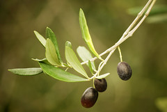 Olive (frozencycler) Tags: italien naturaleza tree nature botanical nikon mediterranean mediterraneo riviera italia natural liguria olive natura botanico oil botanique italie mediterrneo itali botaniske botanisk botanik botaniska botanischer liguri botanische ligurien ligurie italija ligurianriviera rivieradiponente ulive mediterranen d40x liguuria frozencycler flickraward mygearandme ligurija ligrija