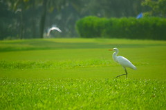 White Crane (Kumaravel) Tags: white green bird garden nikon goa whitecrane greencarpet kumaravel theleelagoa d3100