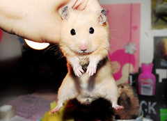 The Classic Dangling Shot ~ Mufinek (pyza*) Tags: boy pet silly cute animal golden rodent furry sweet critter small adorable tiny blonde hamster syrian hammie chomik mufinek