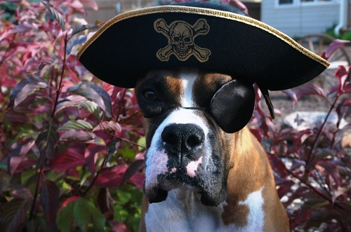 dog dressed like pirate by http://www.petsadviser.com, on Flickr