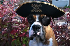 dog dressed like pirate