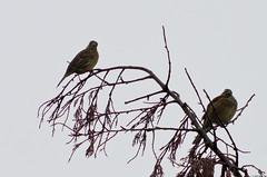 Madame Monsieur (Le No) Tags: bird 31 oiseau hautegaronne midipyrnes cirlbunting emberizacirlus stlon lauragais bruantzizi passriformes emberizids octobre2012