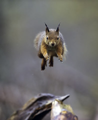 Leaping Red Squirrel - Explored # 1 on 22/10/2012 (David C Walker 1967) Tags: autumn nature mammal scotland leaping redsquirrel cairngormsnationalpark scottishwildlife specanimal specanimalphotooftheday caledonianpineforest nikond3s