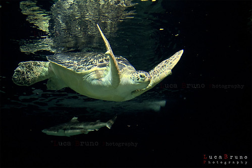 """Sea Turtle • <a style=""""font-size:0.8em;"""" href=""""http://www.flickr.com/photos/49106436@N00/8112704904/"""" target=""""_blank"""">View on Flickr</a>"""