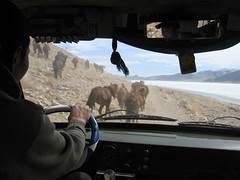 Horses running through a windscreen in Mongolia (mbphillips) Tags: nomad wildlife animal モンゴル 몽골 蒙古 asia アジア 아시아 亚洲 亞洲 mbphillips canonixus400 geotagged photojournalism photojournalist mongolia 몽골리아 mongolie