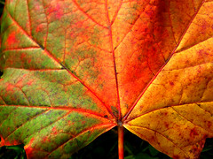 Melody of Autumnal colours (EminemIndiannaJones) Tags: autumn trees red england orange detail macro green beauty leaves yellow closeup contrast countryside leaf woods colours westsussex veins naturalworld autumnal surroundings midhurst ind leafveins