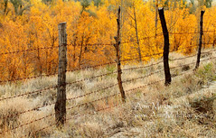 Secure Autumn (Amir Mukhtar Mughal | www.amirmukhtar.com) Tags: pictures autumn trees pakistan orange tree nature colors beautiful beauty grass leaves yellow contrast canon fence garden landscape golden leaf colours image photos path north scenic images autumnleaves autumncolours amir fields nwfp northernpakistan mughal mughals skardu northofpakistan pakistanphotos pakistanimages imagesofpakistan pakistaniphotographers pakistaniphotographer northernareasofpakistan amirphotography concordians northernareaofpakistan photosofpakistan autumnphotography gilgitbaltistan amirmukhtar autumninpakistan photographersofpakistan wwwamirmukhtarcom photographyofpakistan pakistaniimages amp005292