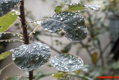 301 - 366 (casirfm) Tags: leaf drops nikon autunno v1 2012 ottobre project365 nikon1 casirfm