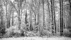 Stopping by woods (Ian McKenzie) Tags: trees blackandwhite snow nature contrast sony wideangle lightroom a850 geocity exif:iso_speed=400 exif:focal_length=28mm exif:make=sony camera:make=sony geostate geocountrys exif:model=dslra850 camera:model=dslra850 exif:aperture=16 ianmckenziephotography exif:lens=28mmf28
