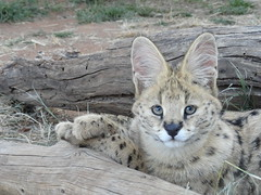 DSC05993 (claireandcoco2010) Tags: africa cats nature animal southafrica wildlife lion conservation leopard volunteering experience cheetah bigcats serval bloemfontein caracal wildcats cheetahexperience