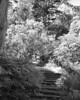Overgrown Stairway (Rodney A. Johnson) Tags: sanfrancisco california goldengatepark trees blackandwhite bw 120 film rollei mediumformat landscape stairway strybingarboretum epson 6x7 botanicalgarden greenfilter xtol filmphotography mamiya7 sanfranciscobotanicalgarden v750 80mmplanar ir400 autaut pulled2stops rolleiinfraredir400
