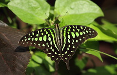 Tailed Jay (binubal) Tags: india butterfly indian bangalore agamemnon swallowtail lalbagh papilionidae graphium tailedjay greentriangle greenspottedtriangle tailedgreenjay