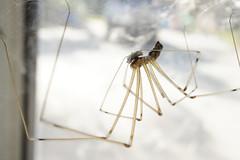 Spider Mummy (z0m3ie) Tags: california window death spider long riverside legs wildlife sony creepy mummy longlegs nex macr nex5