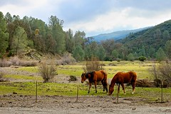 Horses in a Winter Meadow 2 (Charlie Day DaytimeStudios) Tags: california trees horses clouds rainyday meadow meadows roads livermore treesky livermoreca minesroad