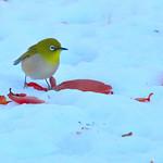 雪の上を歩くメジロ (Japanese White-eye walk on the snow) thumbnail
