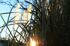 Sunset (MichaelaSMillion) Tags: light sunset plants grass rays