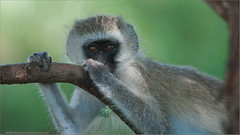 Black-faced Vervet Monkey (Raymond J Barlow) Tags: green art nature animal tanzania monkey wildlife tours 200400vr nikond300 raymondbarlowtours