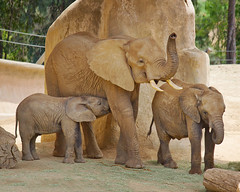 _MG_5227 (Mary Susan Smith) Tags: california vacation children three holidays mother elephants mammals africanelephants bigmomma sandiegowildlifepark gamewinner cy2 challengeyouwinner cychallengewinner thechallengefactory tcfwinner storybookwinner gamex3winner gamex2sweepwinner pregamewinner storybookttwwinner bbqatgrandmas