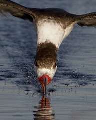 Black Skimmer (Dah Professor) Tags: bird water eyes florida flight 1000 skimming 089 xplr kh0831