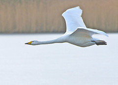 365-026 Whooper Swan (Lluniau Clog) Tags: day26 wwf martinmere whooperswan cygnuscygnus day26365 3652013 365the2013edition 26jan13
