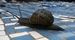 Snail 003 (Sensation Art Gallery) Tags: garden shell snail slippery slimy mollusc snaileyestalks