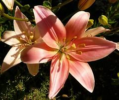 Daylilies (alasam) Tags: citrit lily mygarden