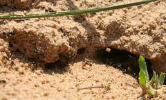 04-070505 Spanien 5 034 (hemingwayfoto) Tags: ameise andalusien cotadonana europa insekt nationalpark natur nest radtour reise sand schwarz spanien